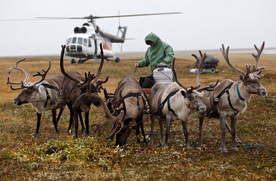 資料圖片,西伯利亞的馴鹿產業,是極地牧民們與世界經濟接軌的重要主力。 圖/路透社