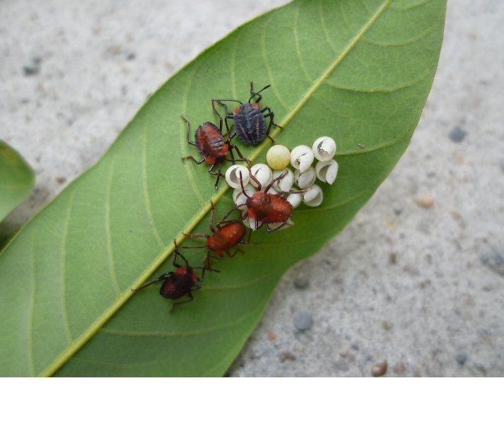 荔枝椿象初孵化若蟲。農委會防檢局/提供