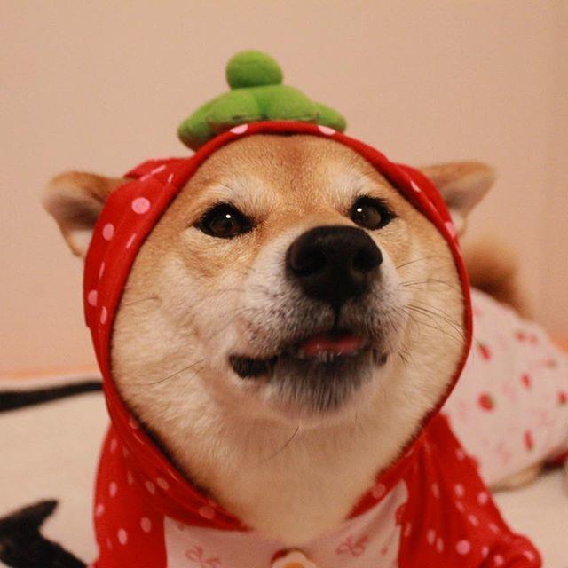 柴犬Marron。圖擷自 Marron的instagram