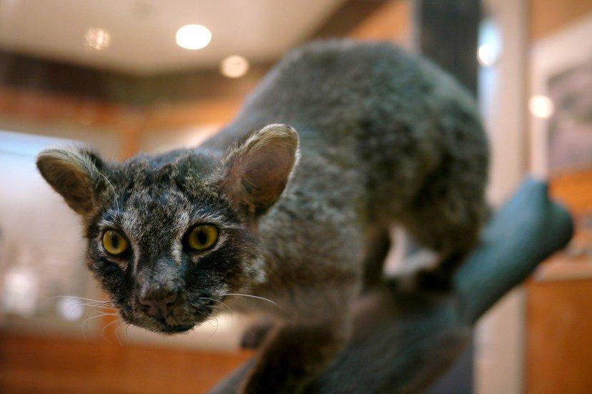 作為西表島自然生態的重要資產,全島四處可見保護西表山貓的提醒標語。 圖/維基共享