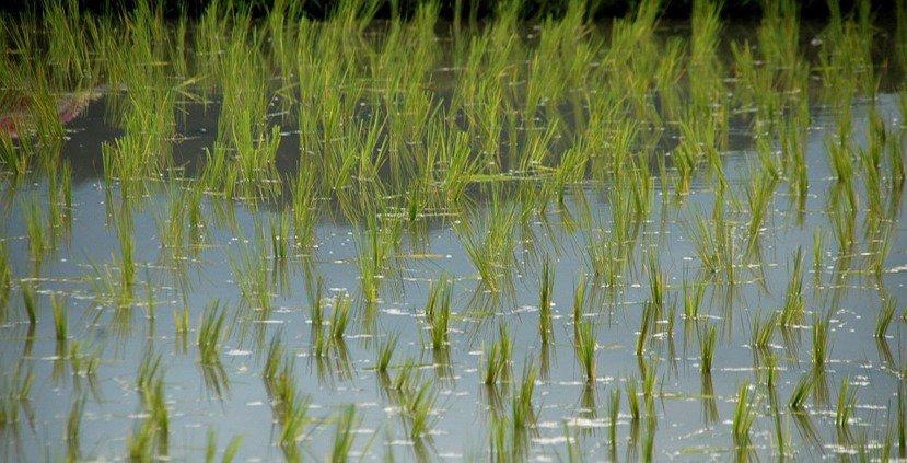 平良先生出身的稻葉聚落,早年在日本政府扶植下以種稻為主,在歷經力人口外流與遭受颱...
