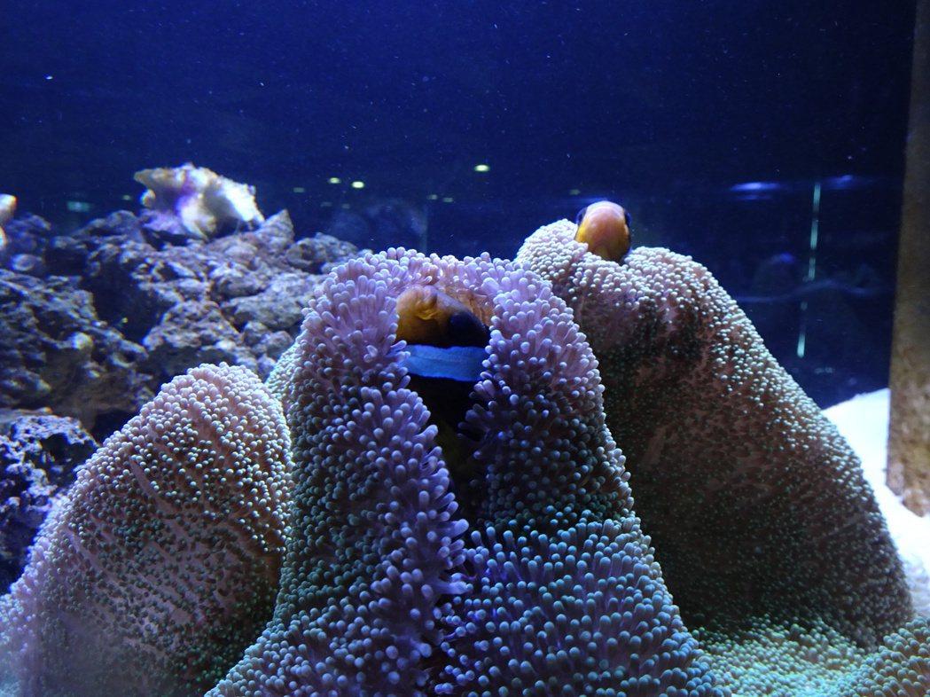 小丑魚最愛「抱棉被」,躲在地毯海葵裡。記者翁禎霞/攝影