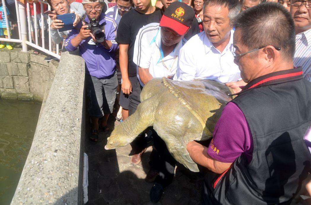 在市議員趙昆原、新營太子宮主委王獻彰等人協助下,將這隻重逾50公斤神鱉,在廟宇魚...