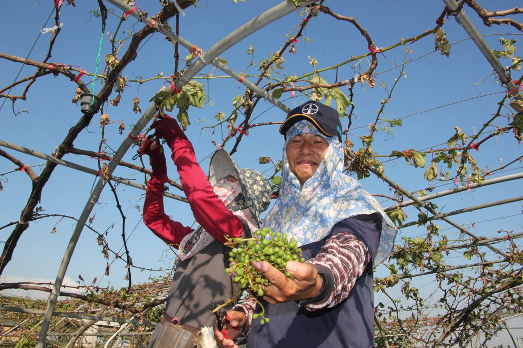 埔心鄉葡萄農黃良僖說,今年是他從農以來災損最嚴重的一年,損失約九成,因為葉子幾乎...