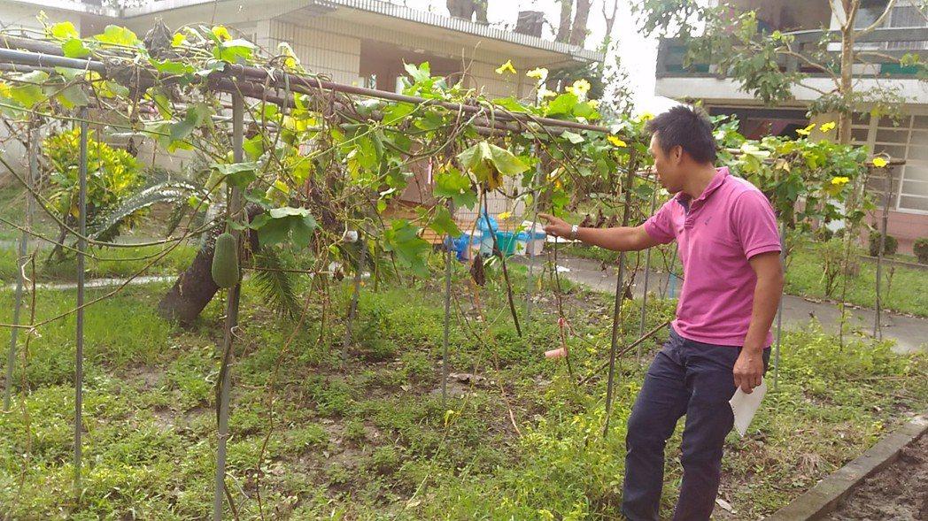 高雄市燕巢國小尖山分校自然農園的絲瓜,挺過兩個颱風吹襲,分校主任李鴻傑說,師生種...