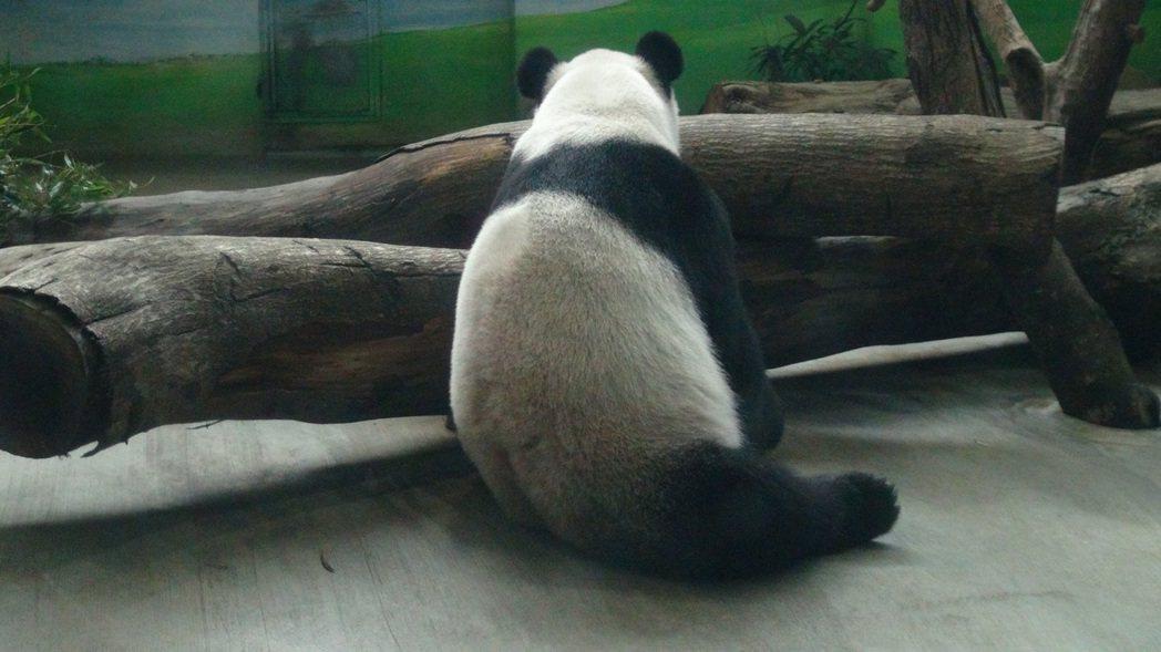 動物園超人氣明星大貓熊「團團」露出「股溝」,讓遊客懷疑牠因病脫毛,動物園打包票「...