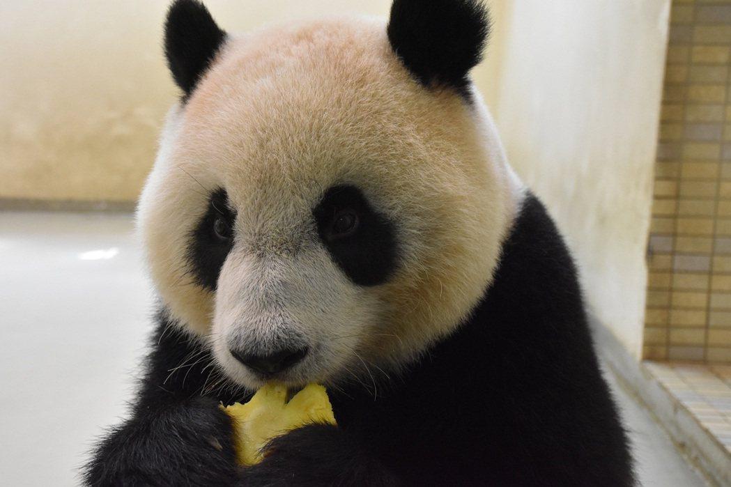動物園超人氣明星大貓熊「團團」。圖/北市動物園提供