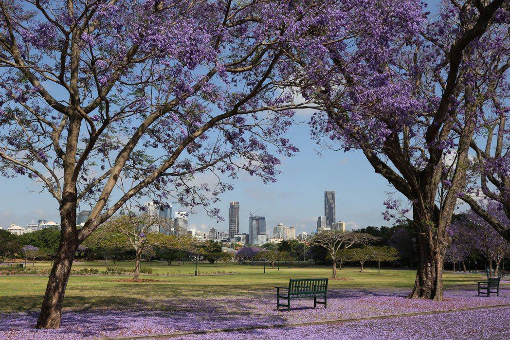 布里斯本的春天瀰漫著藍紫色的浪漫氛圍。圖/澳洲昆士蘭州旅遊暨活動推廣局提供