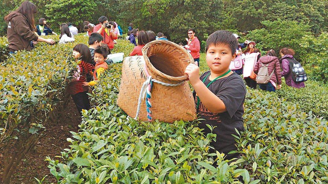 乾華國小每年春、冬都有採茶活動。 圖/乾華國小提供