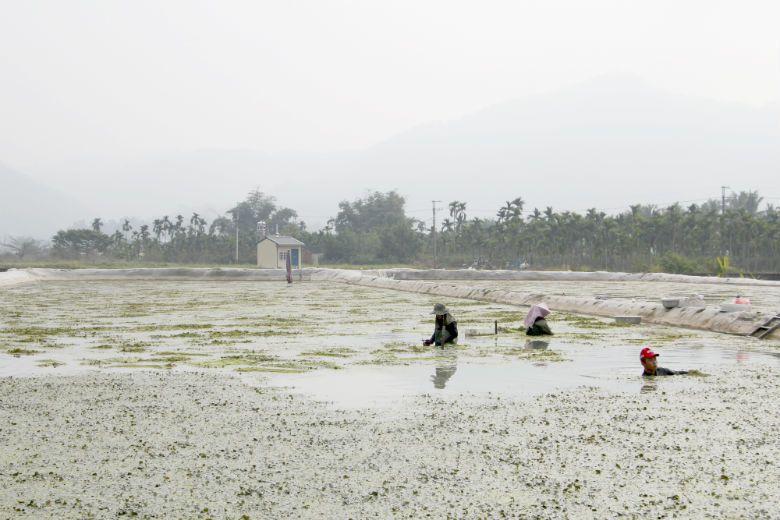 野蓮是美濃的特色作物,在野蓮田裏面工作必須忍耐長時間的高溫與潮濕,一般人多視為畏途,因此嚴重缺工。(示意圖非當事人) 攝影/本文作者林吉洋