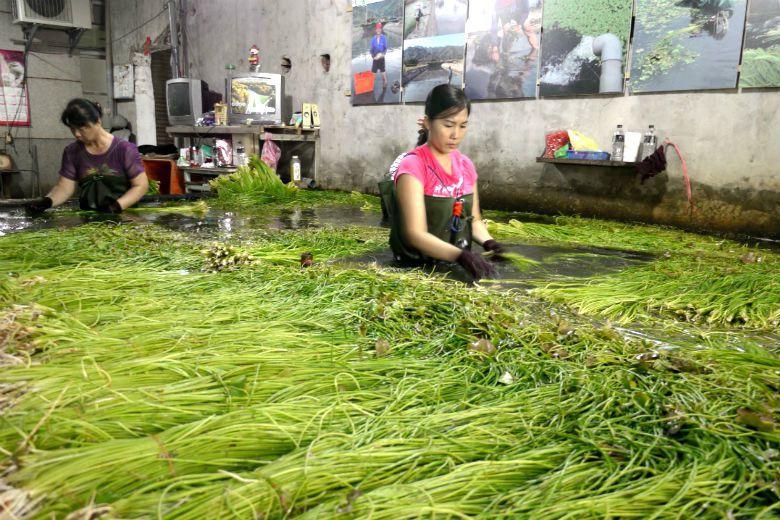 採收野蓮時,工人必須身著不透水的青蛙裝,需忍耐潮濕悶熱,更容易引發皮膚疹。 攝影/記者徐白櫻