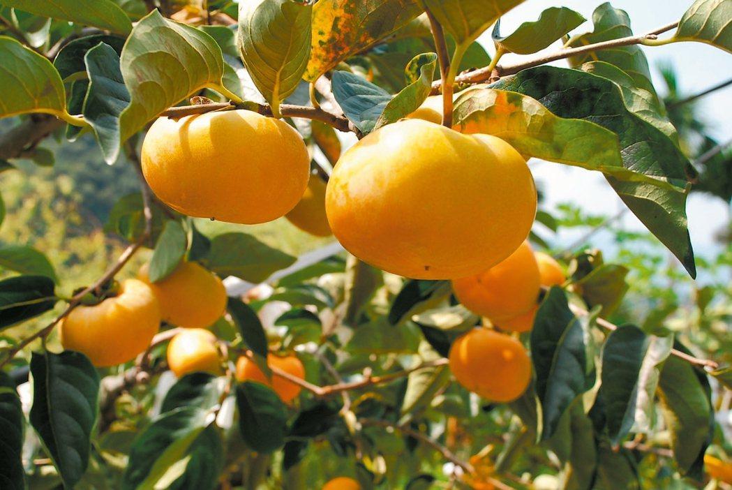 柿子若吃太多,可能容易讓胃產生不適。 報系資料照