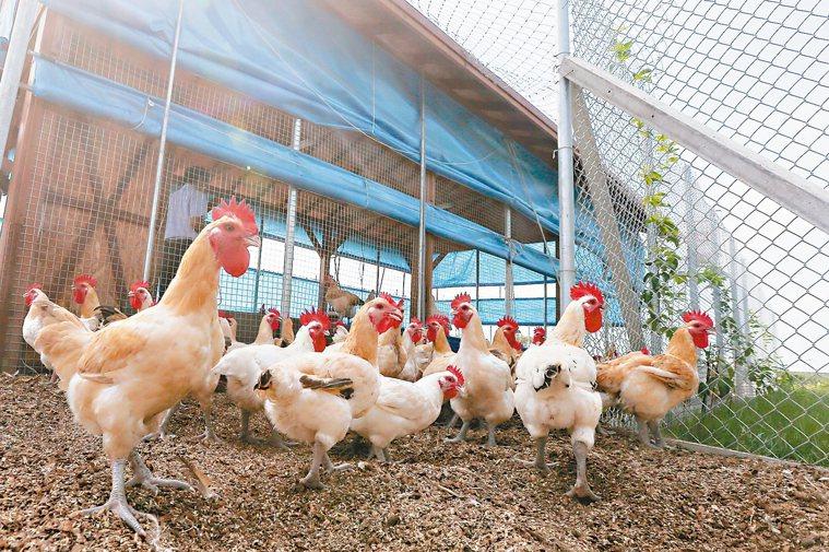 土雞養殖場。 記者黃仲裕/攝影