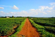 越不了的邊境:當台灣茶農南向後,來自彼地的越南茶