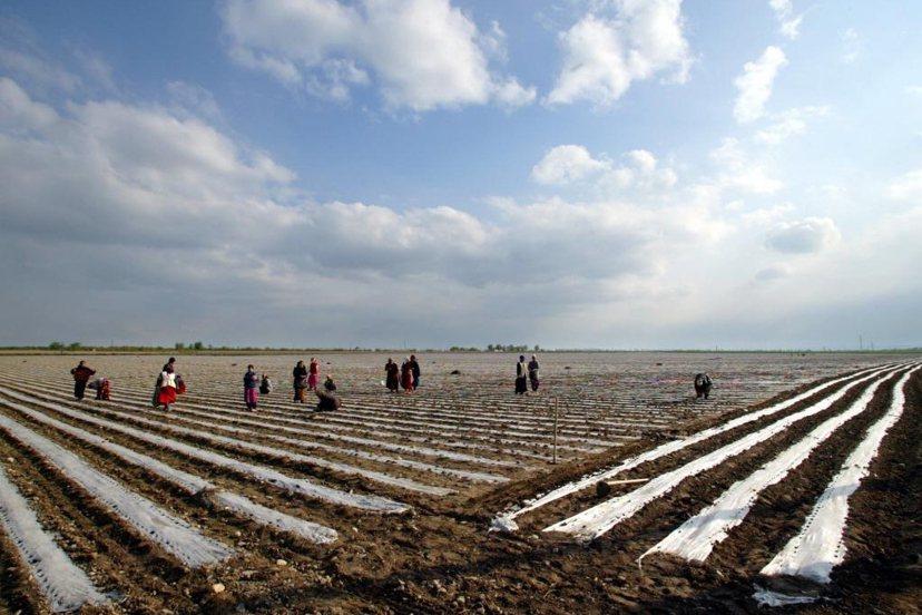在華麗轉身成為貴金屬大國之前,烏茲別克與其他中亞國無異,高度仰賴棉花生產。 圖/...