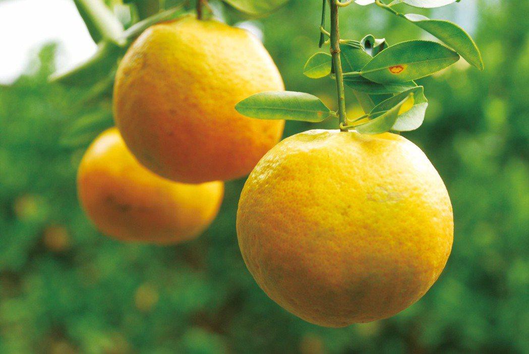 冬天是柑橘類盛產季節。圖/農委會提供