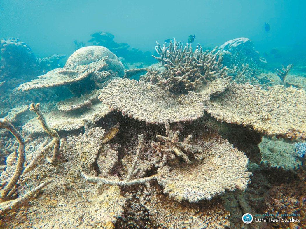 大堡礁北區頂點礁的鹿角珊瑚因白化死亡。 路透