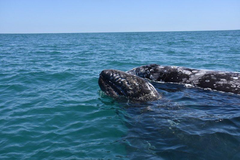 灰鯨獨鍾情於下加州海灣暖水,每年從阿拉斯加南下逾九千公里,執意逗留海灣繁殖。