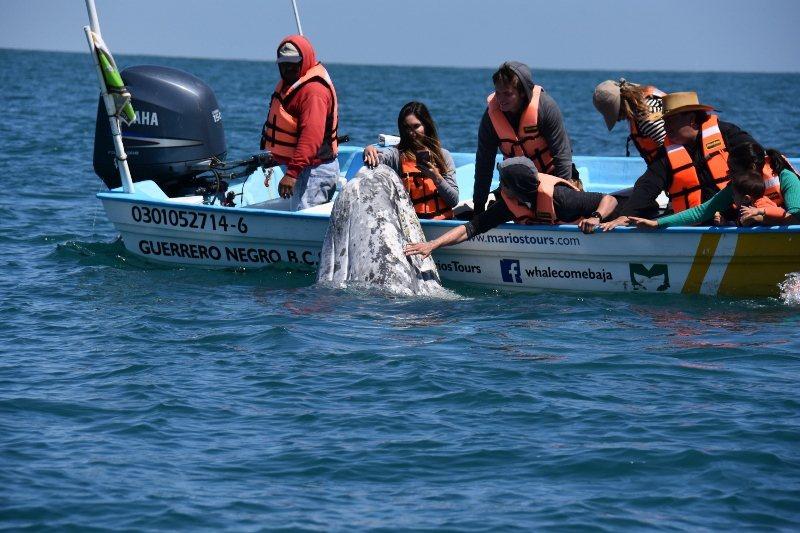 每年1到3月初,賞鯨遊客便聚集墨西哥南下加州省(Baja Sur)史坎摩湖、聖伊...