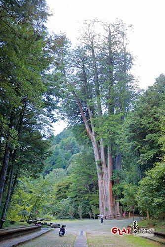 位於大雪山森林遊樂區內的雪山神木,是全台中市區最高大的一棵樹。