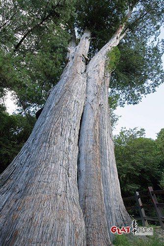 由樹基仰望雪山神木,在十多公尺處分為六支粗大的分枝。