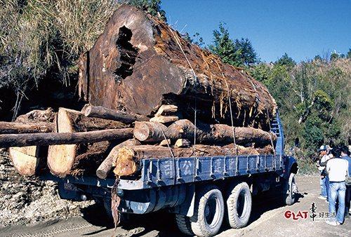 在伐木時期,台灣不少千歲檜木被砍伐殆盡。