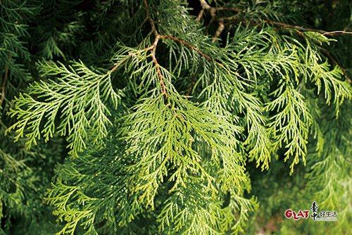 紅檜的葉子比較尖,摸起來較刺手;扁柏的葉子比較不刺手。上圖為紅檜枝條與毬果,下圖...