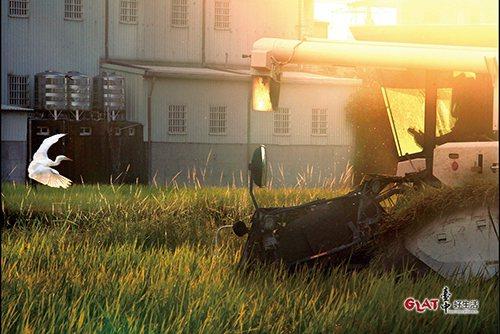 稻作收割期,鄉間小路上的日常風景。