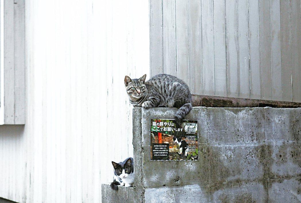 公告中的貓咪模特兒,就坐在牆垣上頭。 攝影/李龍漢