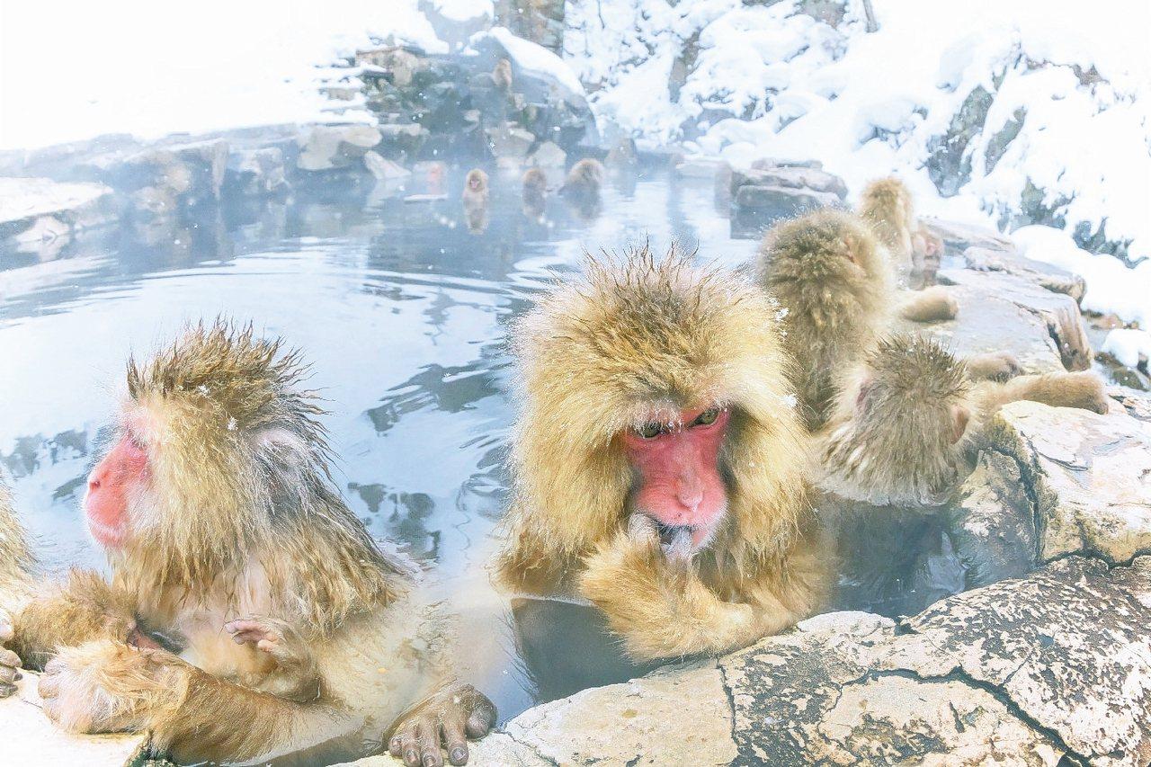 日本雪猴泡湯,讓滑雪行程更有趣。 圖/易遊網提供