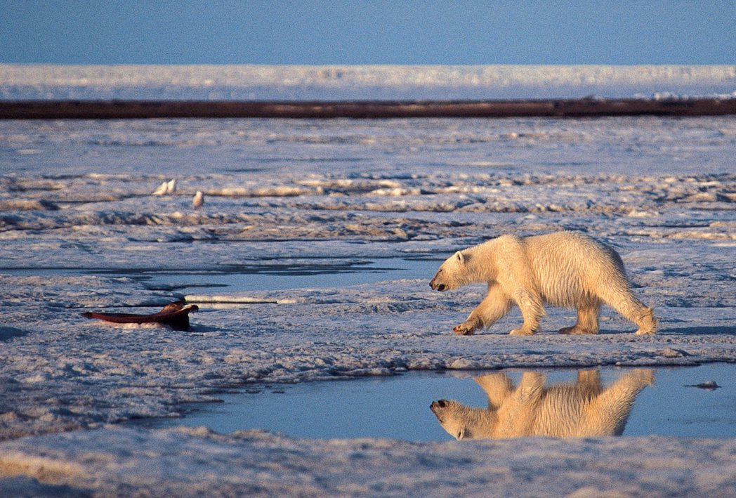 全球持續暖化將引發海洋溫度升高,造成北極融冰。圖為北極熊在融化的冰層尋食。(美聯...