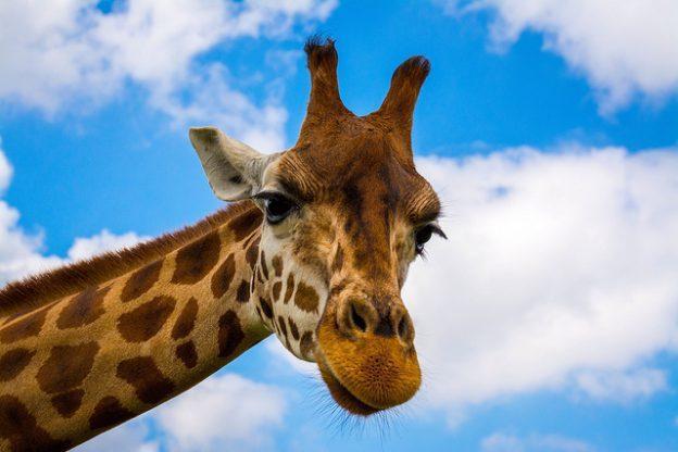30年來數量劇減40% 長頸鹿被列為易危物種、恐瀕臨絕種