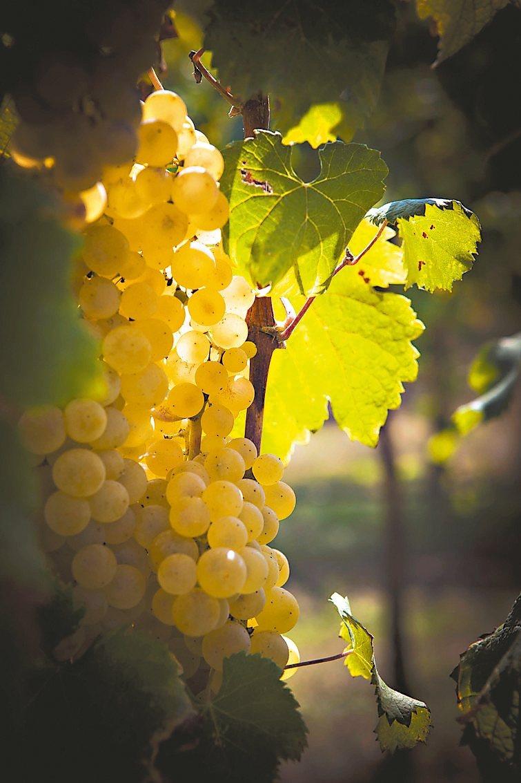 傳統巴薩米克醋是直接以葡萄汁製成,滋味有異於坊間以葡萄酒製作的酒醋。 圖/積木文...