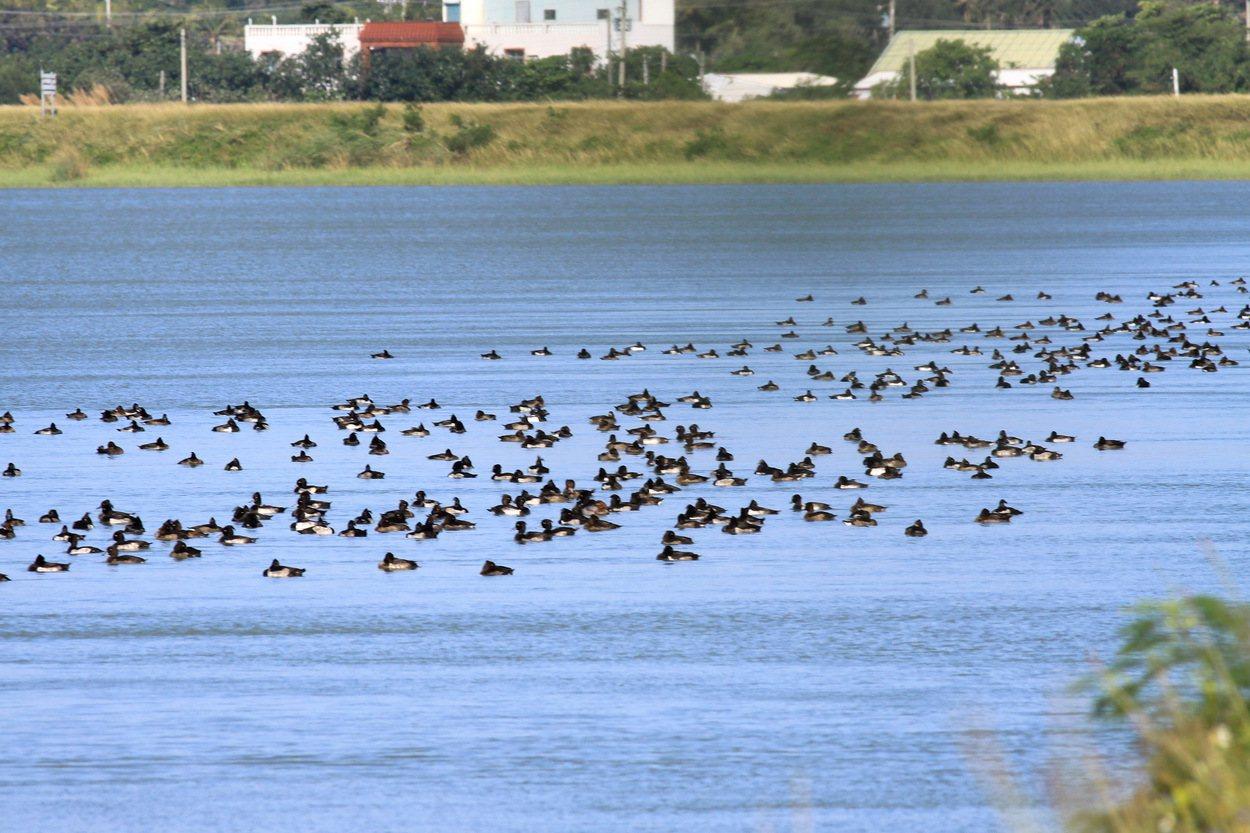 去年在龍鑾潭紀錄不到百隻的鳳頭潛鴨,今年數量回升到500隻。圖/屏東野鳥學會提供
