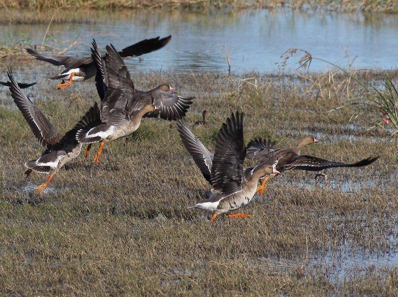 白額雁在墾丁龍鑾潭現身。圖/屏東野鳥學會提供