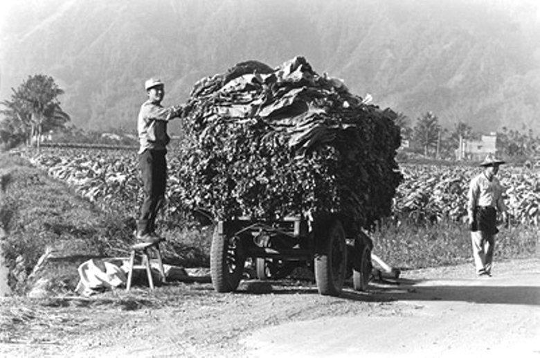 從全盛時期,菸葉被視為「貴族植物」,是當年台灣最重要的經濟作物。 圖/客委會提供