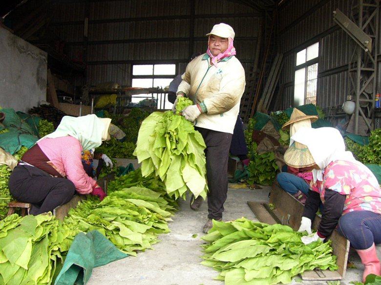 菸農正忙採收菸葉進行整理烘烤,菸葉一直是美濃鎮農民的主要經濟收入之一。 圖/聯合...