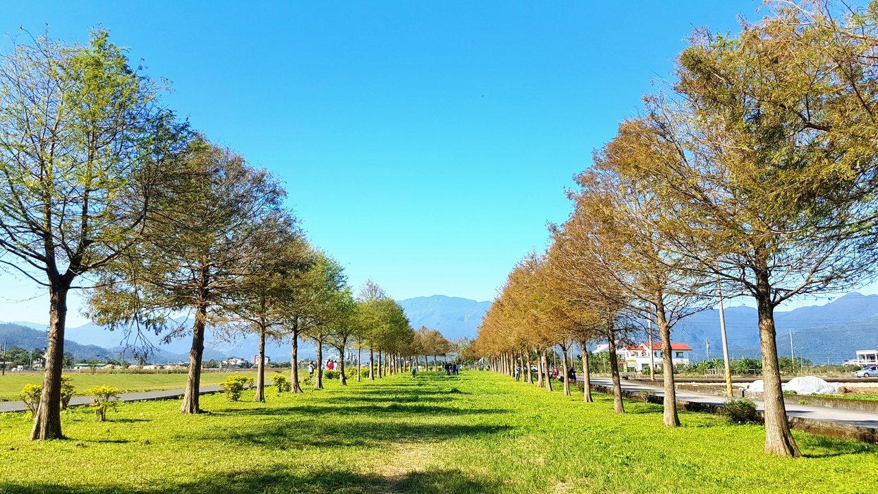 宜蘭縣三星鄉安農溪畔的落羽松林最近由綠轉黃,遊客讚嘆美景宛如身在歐洲。記者吳佩旻...