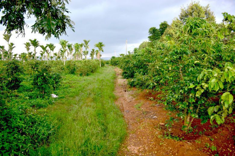台商咖啡園和越南農民家戶農場的交界處,農場管理的差異壁壘分明。 圖/作者自攝