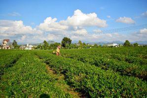 農藥使用的技術活:台灣茶與越南茶的矛盾