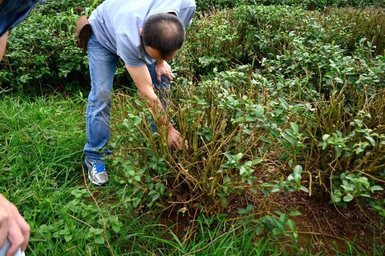 茶農正在檢視一顆蟲害嚴重的金萱。金萱的枝幹自根部分立叢生生長,使其即便部分遭到蛀心蟲啃食,仍然能維持產量。 圖/作者自攝