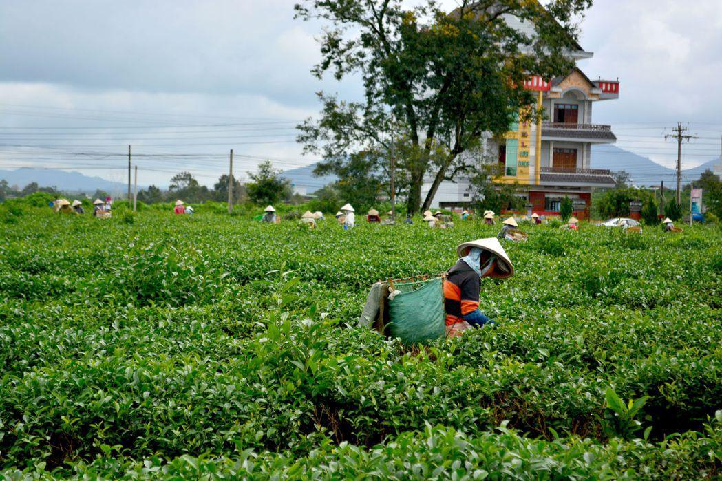 面對農藥管理問題,越南林同的台商們以大規模生產,讓越南茶在過去二十年內不斷緊跟著台灣的各種規範。 圖/作者自攝