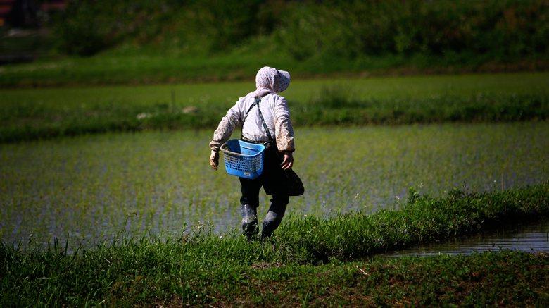 面對農村缺工,日本政府研議將擴大引進受過專業農業訓練的人員,給予長期居留權,甚至可攜眷,吸引外國人到日本從事農業工作。 圖/美聯社