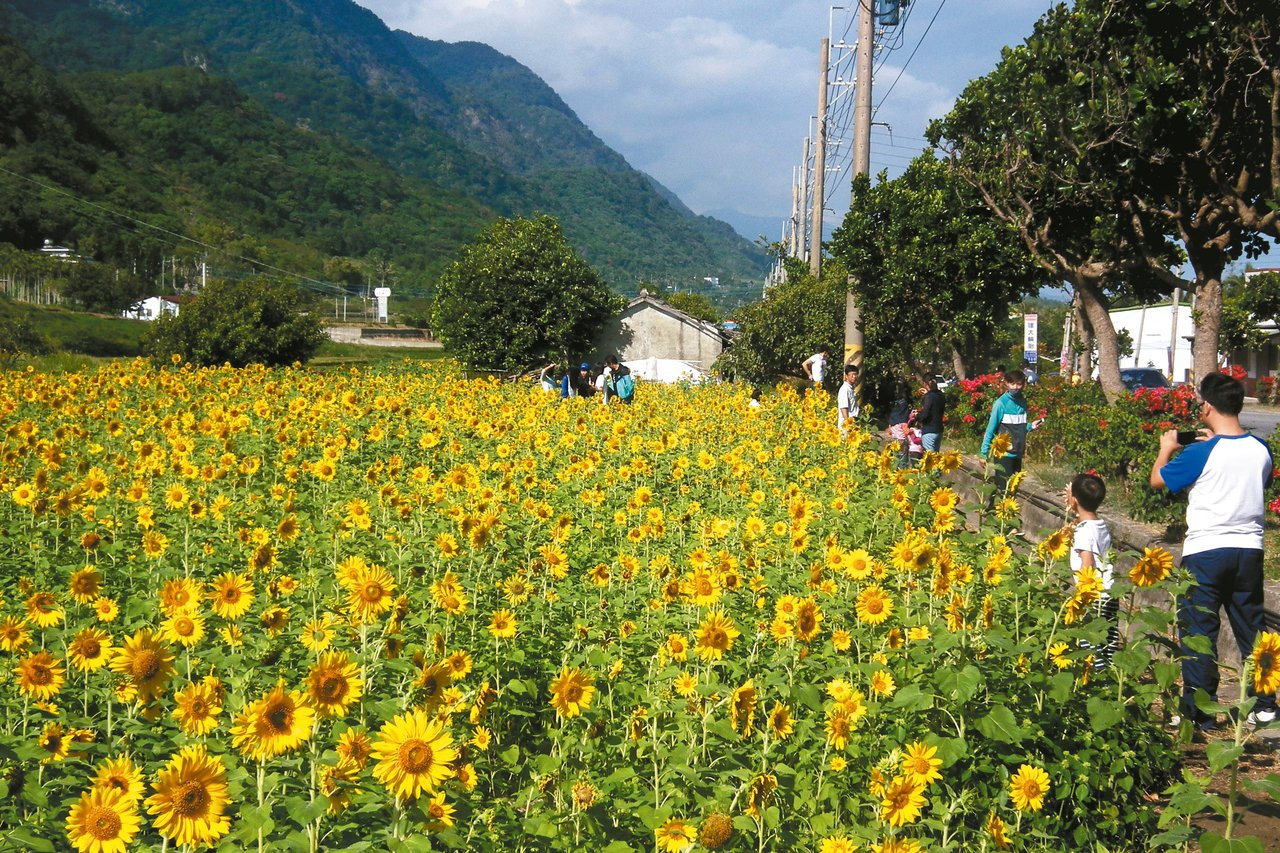 東海岸農民栽種向日葵,美麗花海吸引民眾駐足賞花拍照。 記者尤聰光/攝影