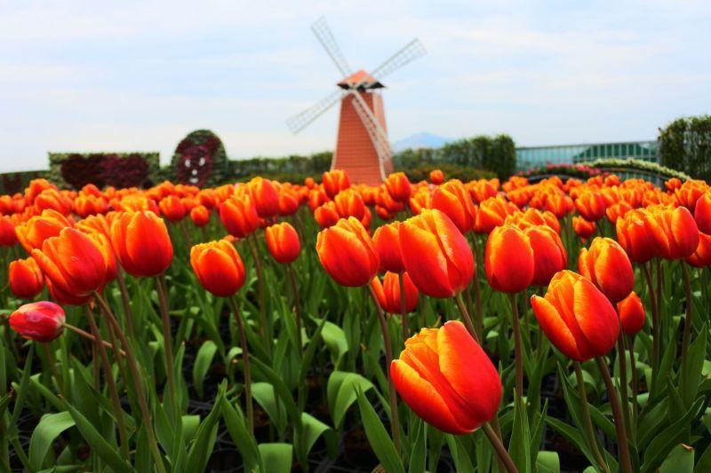 中社觀光花市洋溢著歐洲浪漫的花田氛圍(澤澤稱奇‧小澤提供)