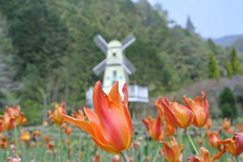 杉林溪鬱金香花田,集中於藥用植物園一區,預估將持續綻放至3月。(澤澤稱奇‧小澤提...