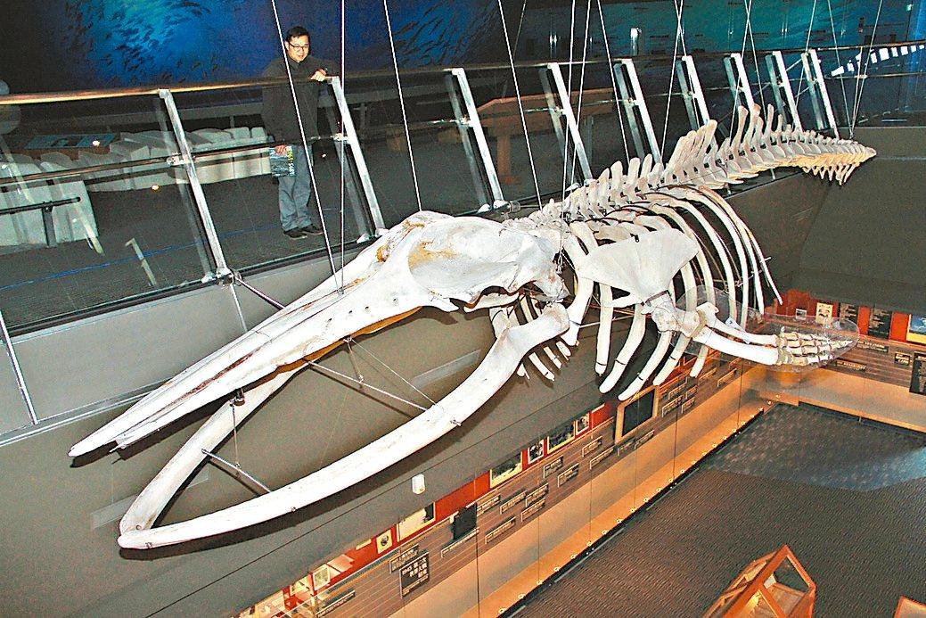 7年前擱淺死亡的巨大鯷鯨,骨製成標本後,捐給蘭陽博物館展出。 記者羅建旺/攝影