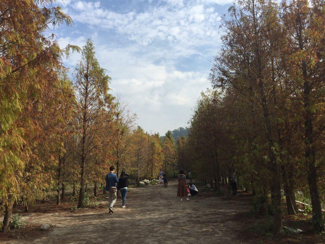 台中泰安國小旁有處秘境,成排的落羽松形成大道,絕美景致,成了台中當紅的拍照景點。...