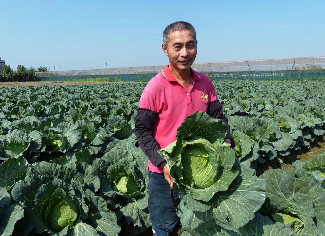 農民陳文陵說現在日夜溫差大,種出來的高麗菜脆甜好吃。記者凌筠婷/攝影