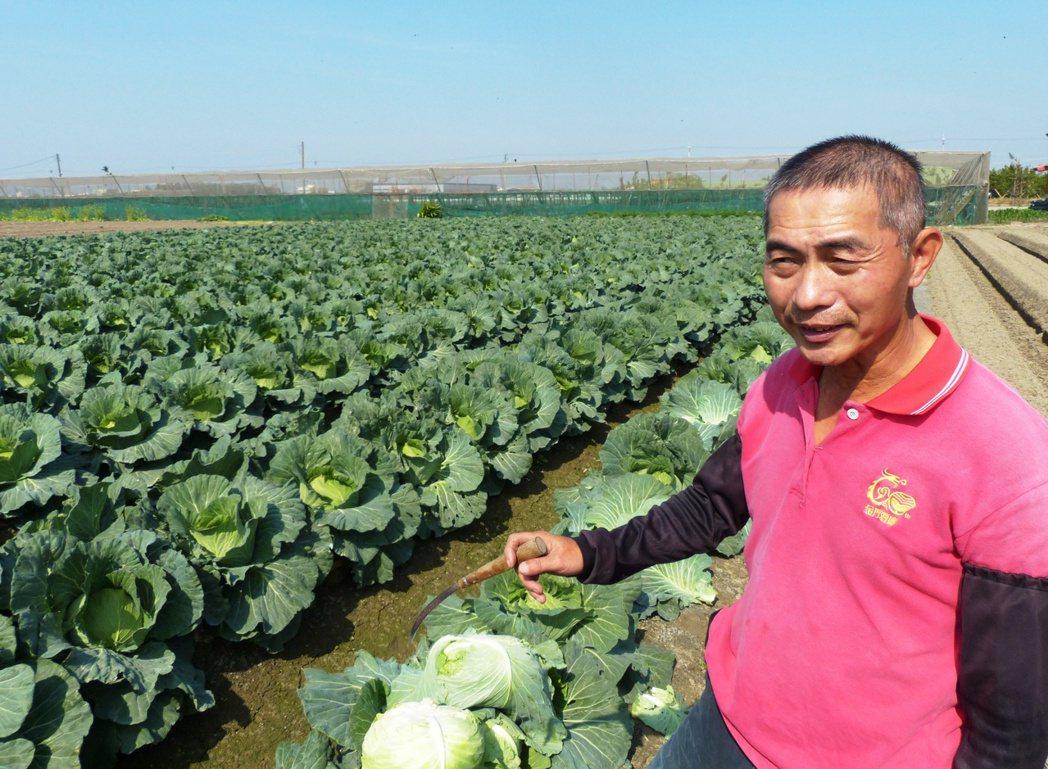 高麗菜價低,農民陳文陵決定不採收,開放給民眾自行採回。記者凌筠婷/攝影